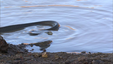 Video Stock Footage Of A Black Mamba Snake Dendroaspis